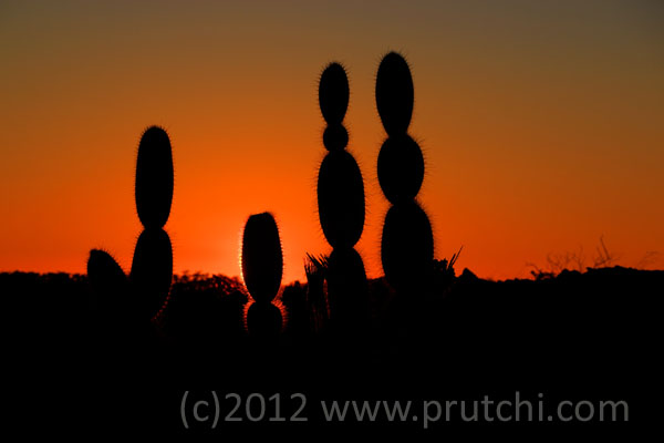 Cacti in Punta Moreno on the lava fields of Isabela Island.  (c)2012 David Prutchi, Ph.D.