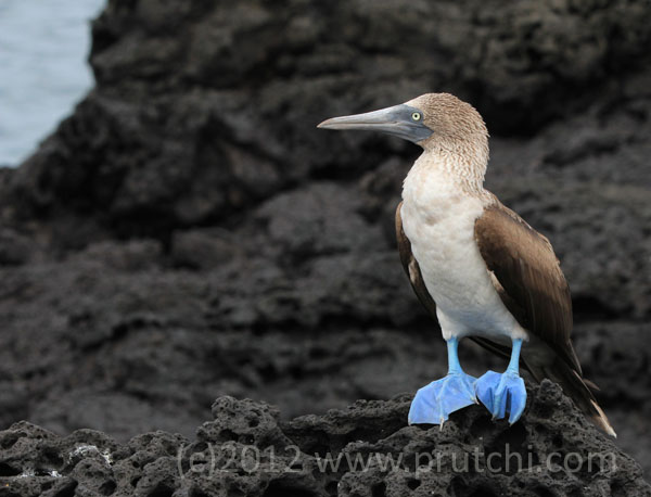 Blue footed booby, Galapagos Islands, (c) David Prutchi, Ph.D. 2012