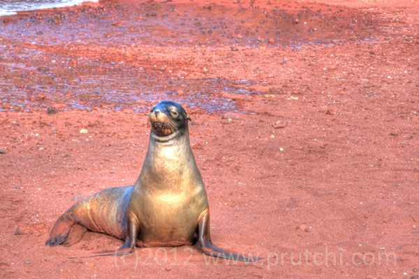 Galapagos sea lion on the red sands of Rabida Island.  (c)2012 David Prutchi, Ph.D.